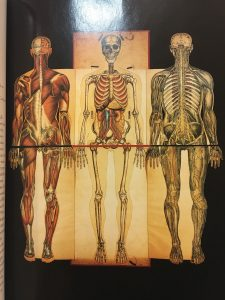 A picture of three muscular/skeletal drawings of the human body.